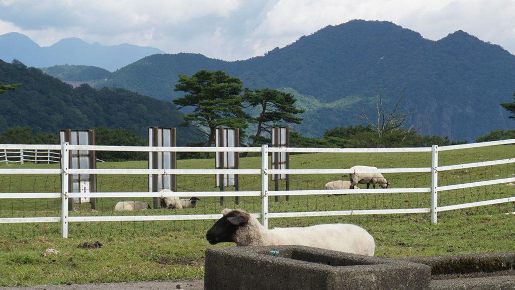 大笹牧場のヤギか羊
