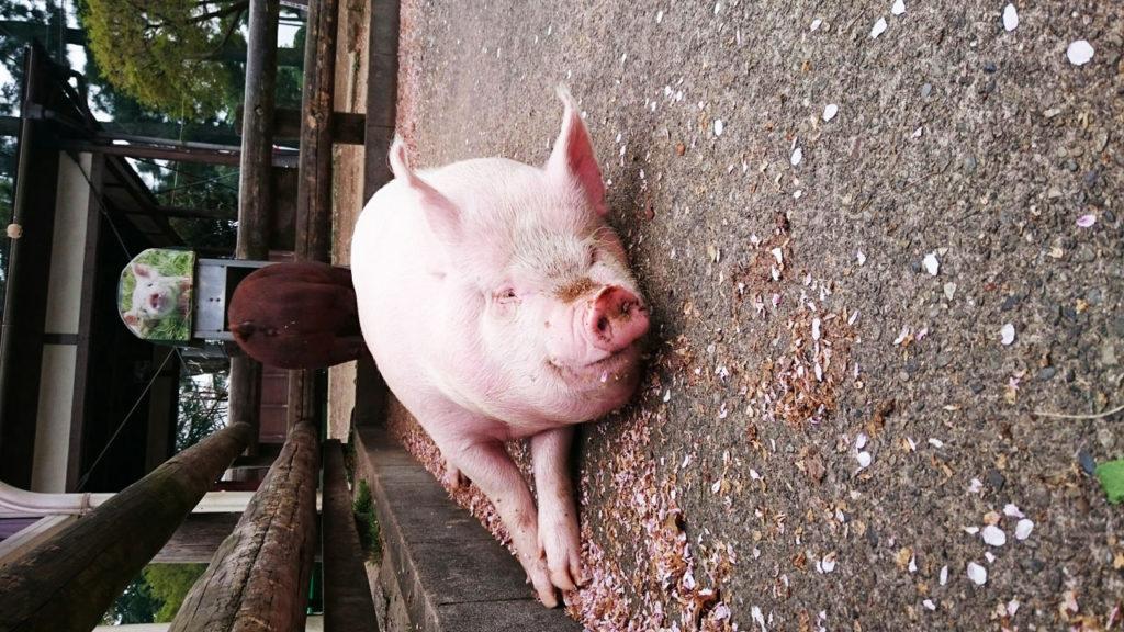 豚とハエがきれい好きだなんてのは幻想です